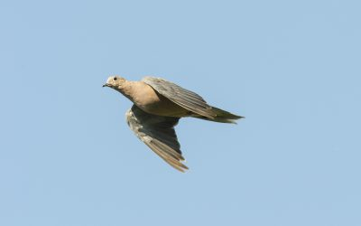 Texas Dove Season – #ComeOnOpeningDay