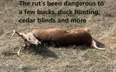 The rut's been dangerous to a few bucks, duck hunting, cedar blinds and more
